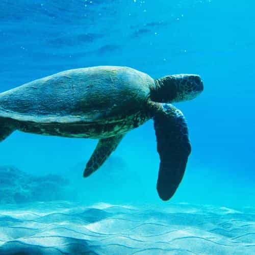 turtle sea ocean animal