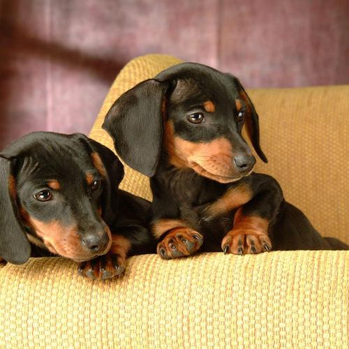 Twin dogs sitting on sofa