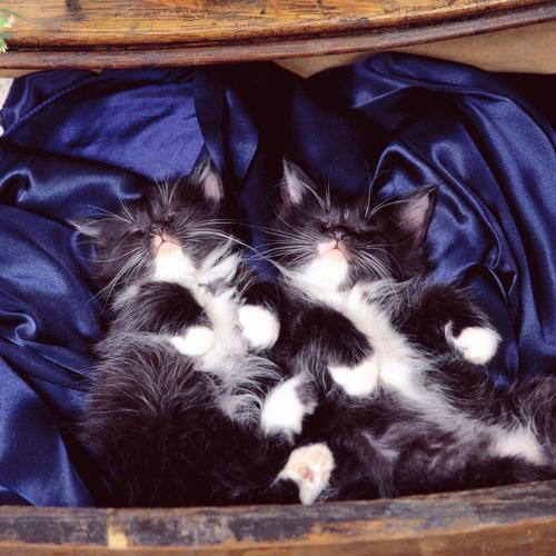 Two black and white kitties sleeping