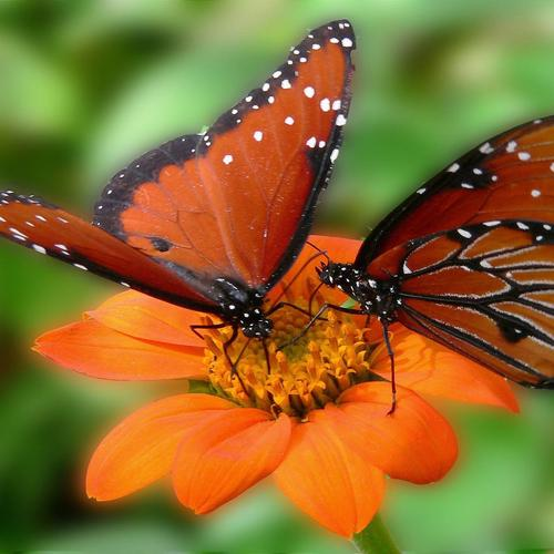 Two butterflies on a flower macro