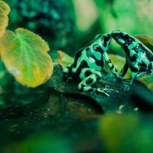 Two green frog kissing wallpaper