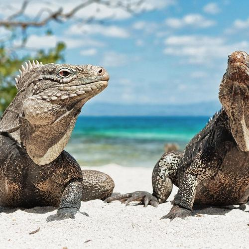 Two lizards on the beauty beach wallpaper