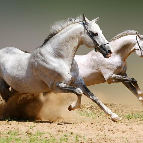 Two white horses racing wallpaper