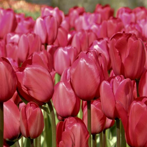 Very pretty Cherry Red Tulips wallpaper