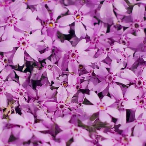 violet flower nature party spring blossom