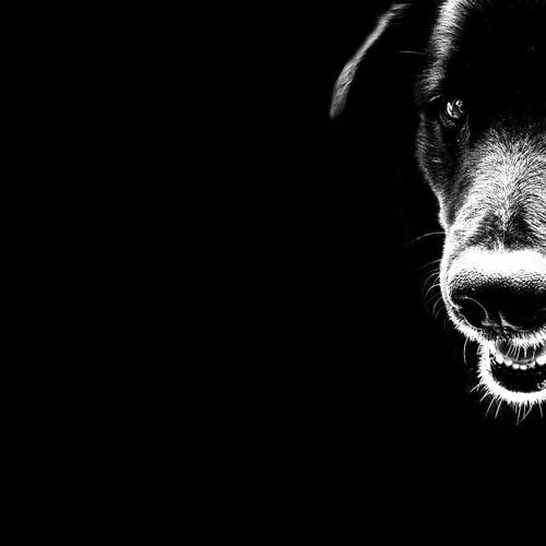 Watch dog in black wallpaper