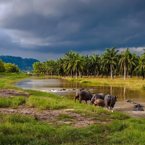 Water buffalos entering a river in southeast asia