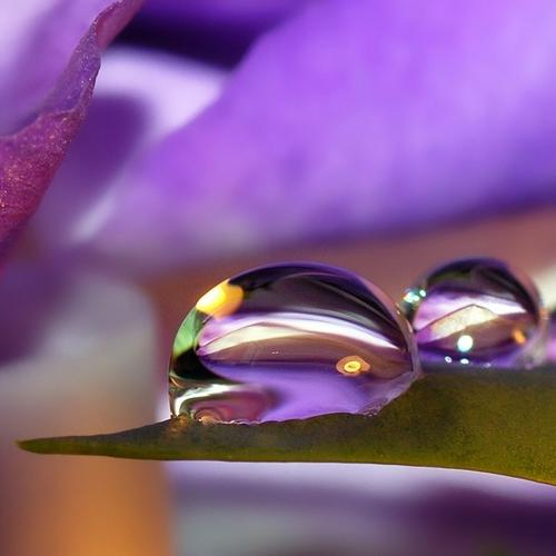 Waterdrops on purple petal