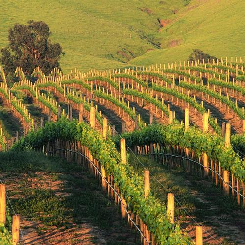 Waves Of Napa Vineyards in California wallpaper