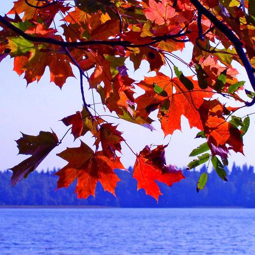 Welcome Autumn with maple leaves