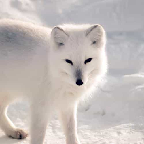 white artic fox snow winter animal