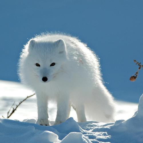 White fox on snow