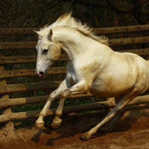 White horse jumping on fence