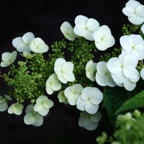 White Hydrangea wallpaper