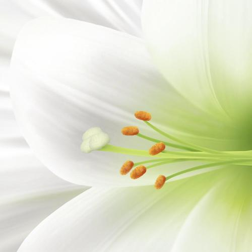 White lily close up
