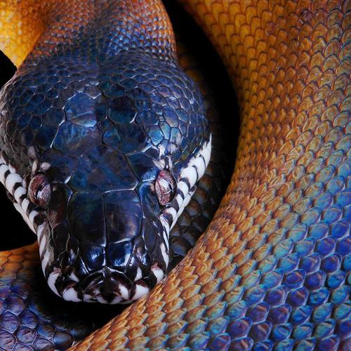White lipped python wallpaper