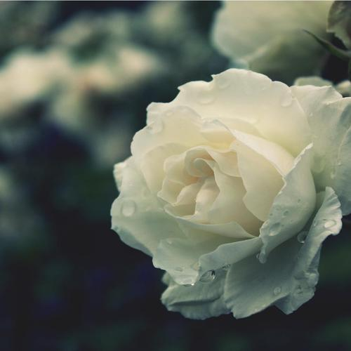 White flower wallpaper list