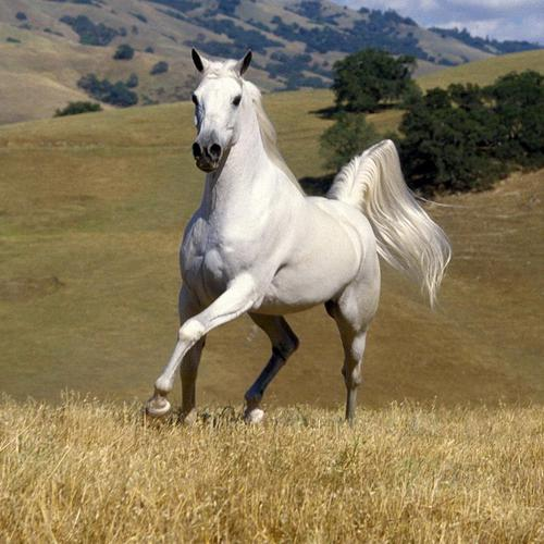 White Stallion horse wallpaper