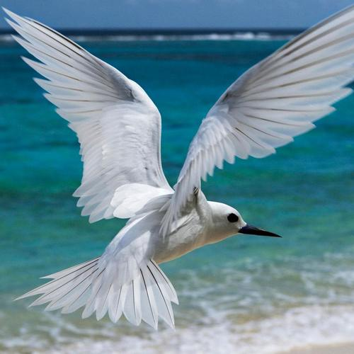 White Tern flying over the beach wallpaper