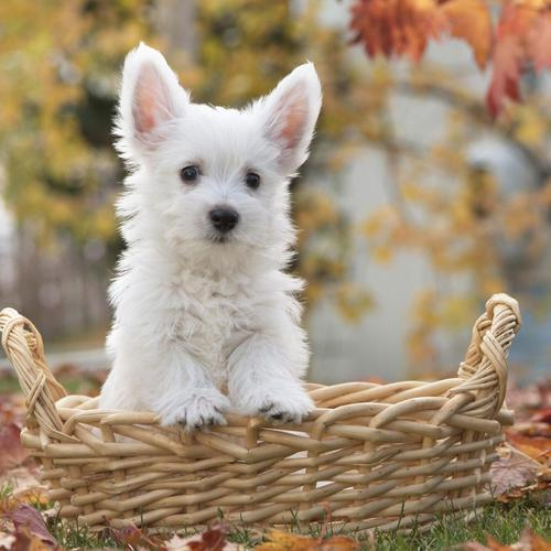White Terrier Puppy