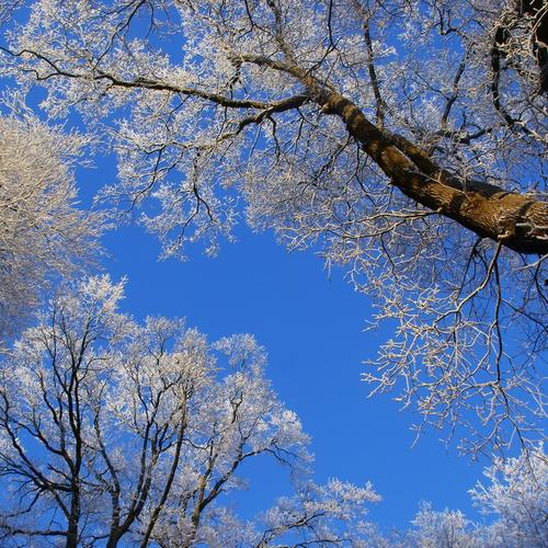 White tree canopy against a blue sky wallpaper