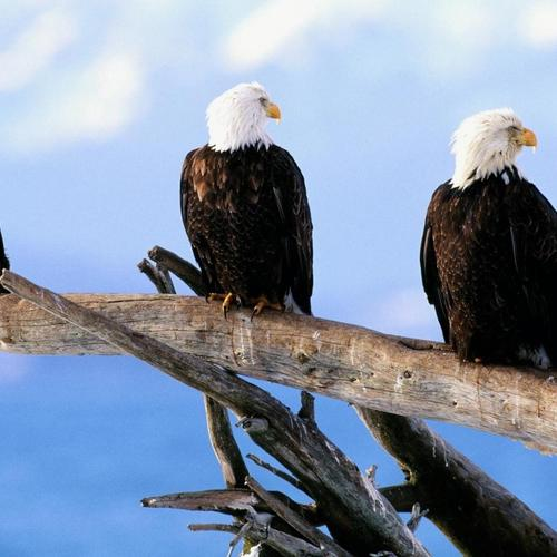 Wild free bald Eagles