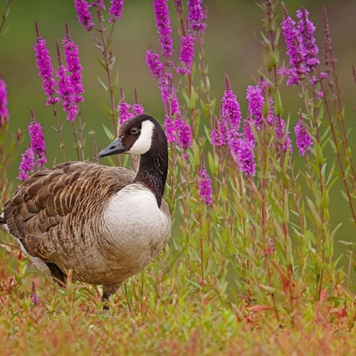 Wild Goose On The Meadow