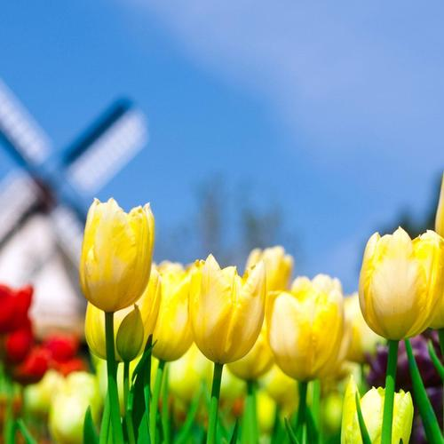 Windmill Tulips wallpaper
