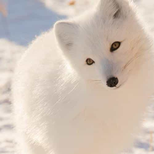 winter animal fox white