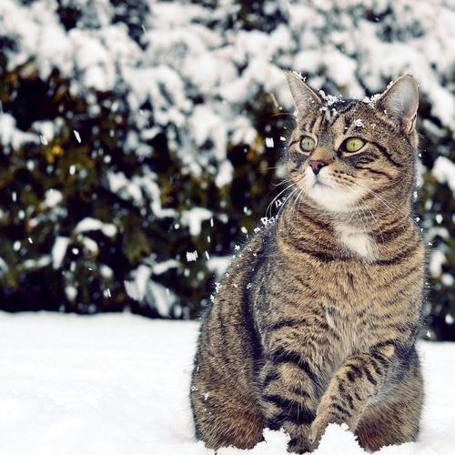 Winter wild cat