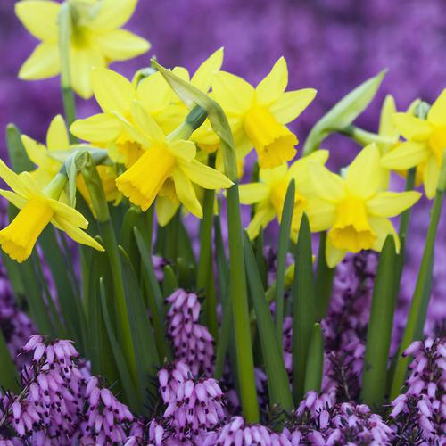 Download Yellow Daffodils in purple Heather, Germany High quality wallpaper