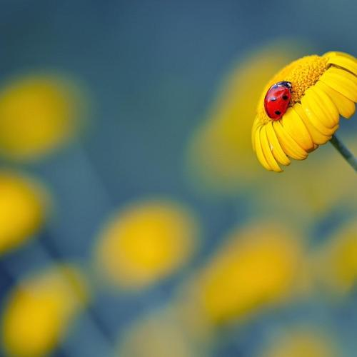 Yellow Flower Ladybug macro wallpaper