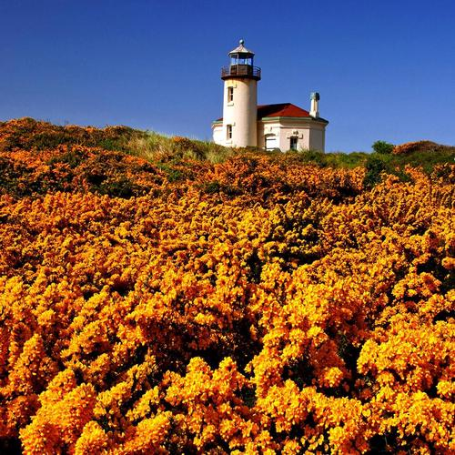 Yellow wildflowers and lighthouse