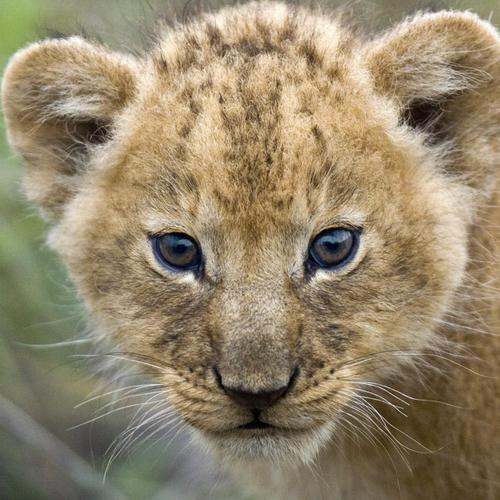 Young Lion Cub, Masai Mara, Kenya, Africa wallpaper